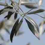 Descubren el secreto del olivo…